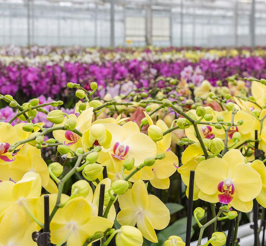 Orchid-final-2